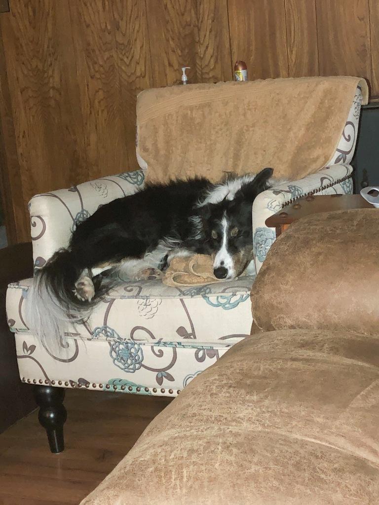 A border collie asleep on a chair