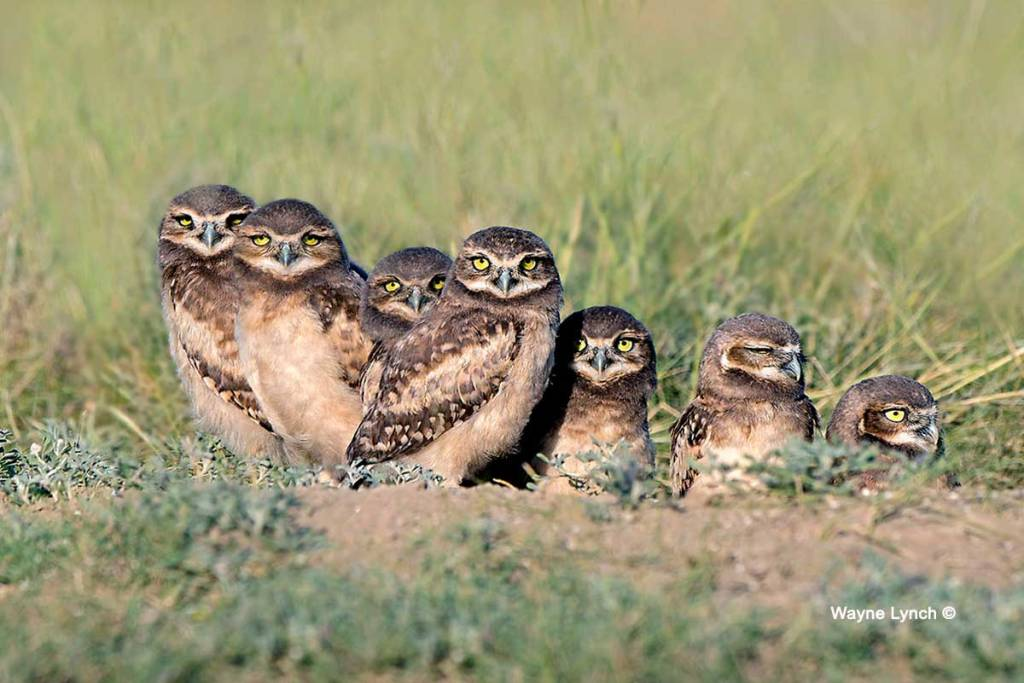 photo of seven burrowing owlettes